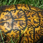 eastern box turtle back close up